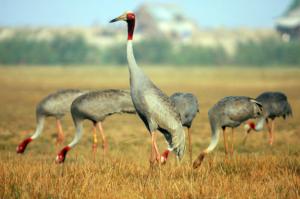 Sếu đầu đỏ, Vườn quốc gia Tràm Chim, Đồng Tháp - Ảnh: Internet