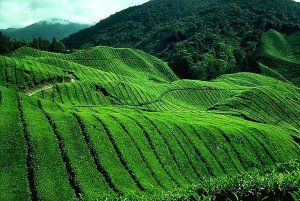 cao nguyen cameron malaysia