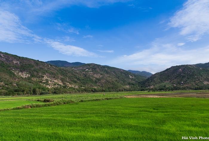 Cánh đồng lúa xanh mướt khi đi qua Cam Ranh