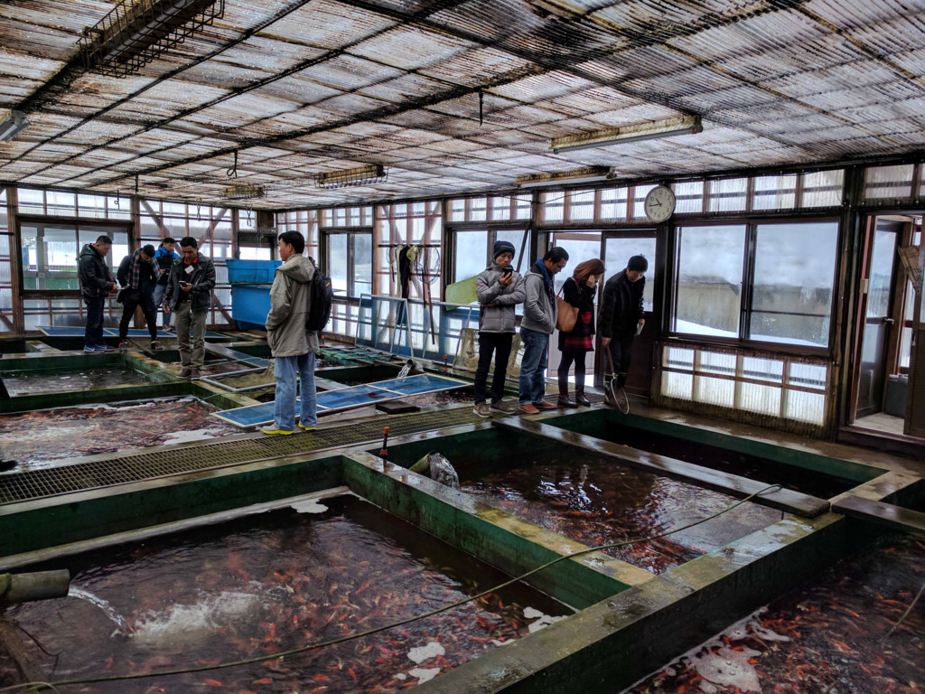 Các loại cá koi của vùng Ojiya hầu hết là được xuất khẩu (trong đó có Việt Nam).