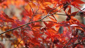 Đi Alishan bạn có thể ngắm lá đỏ
