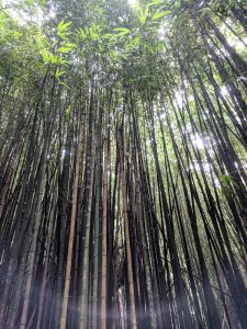 Rừng tre ở Fenchihu